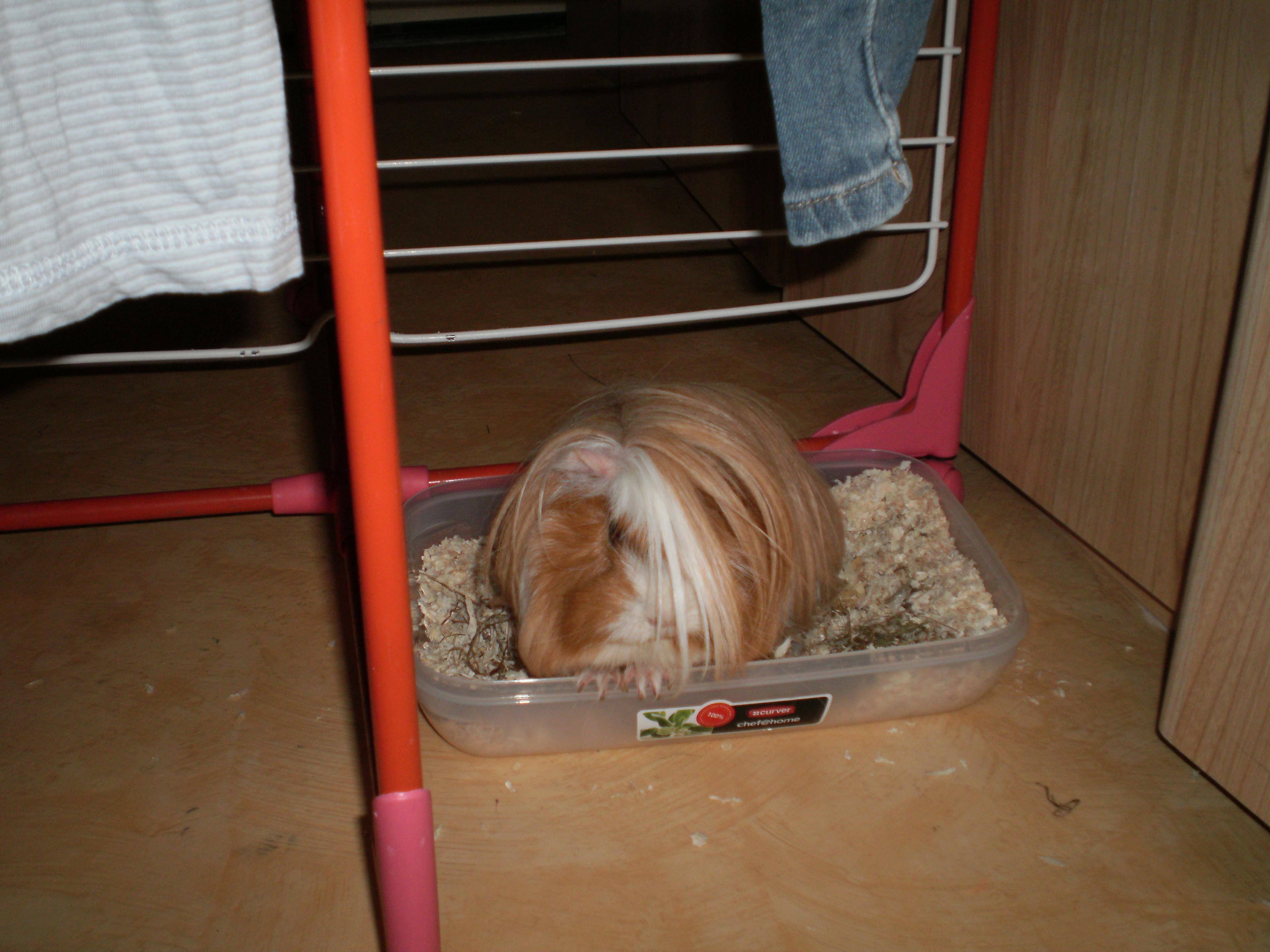 litiere chat pour cochon d'inde